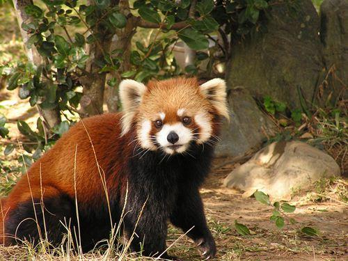 宮崎市フェニックス自然動物園 イメージ レッサーパンダ