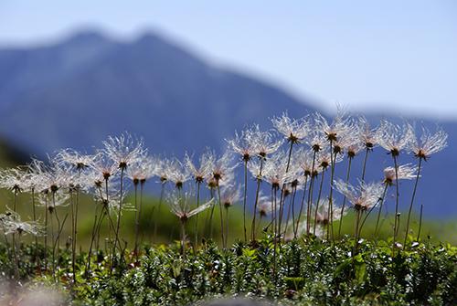 高山植物 チングルマ