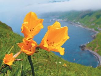 礼文島の花 エゾカンゾウ(例年開花時期:6月下旬から7月下旬) イメージ