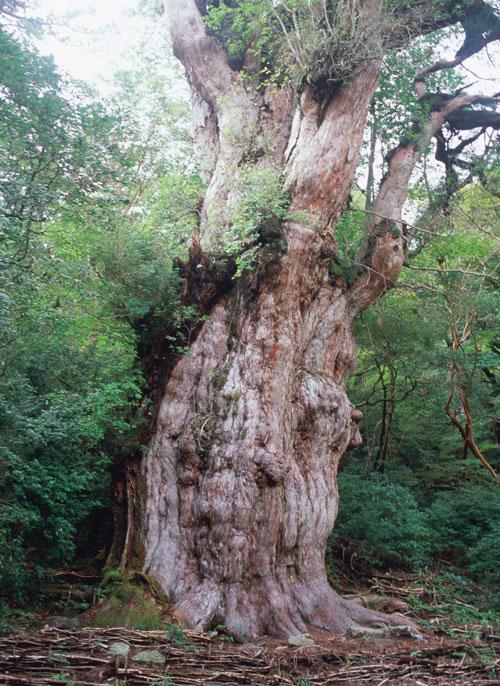 屋久島イメージ 縄文杉(行程には含まれておりません)