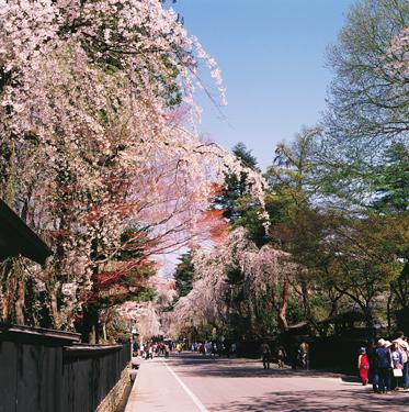角館武家屋敷のイメージ 桜の見頃:4月下旬〜5月上旬
