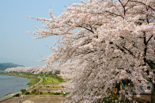 角館桧内川堤のイメージ 桜の見頃:4月下旬〜5月上旬