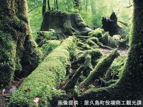屋久島イメージ 苔の森(行程には含まれておりません) 画像提供 屋久島町役場商工観光課