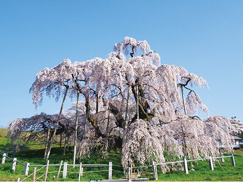 福島 三春の滝桜イメージ