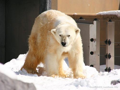 旭山動物園 ホッキョクグマ イメージ (写真提供:旭川市旭山動物園)
