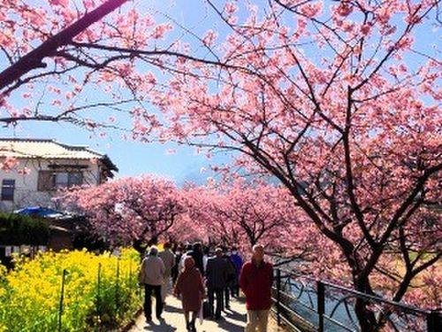 伊豆の桜を見に行こう!2日間