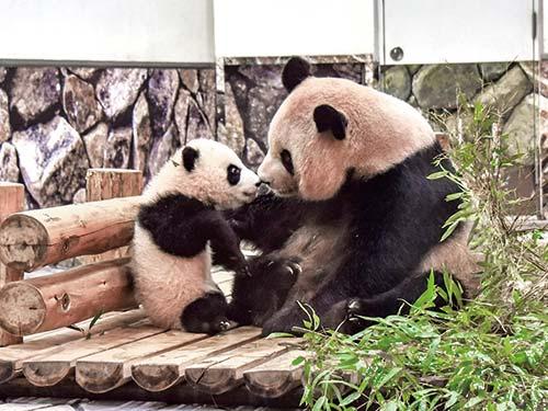 アドベンチャーワールド パンダの親子(2019年1月14日撮影)のイメージ