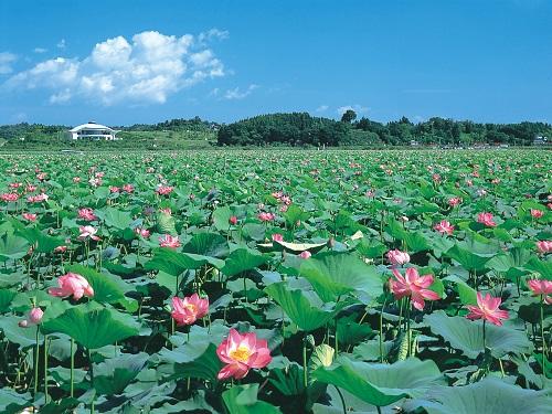 伊豆沼の蓮のイメージ