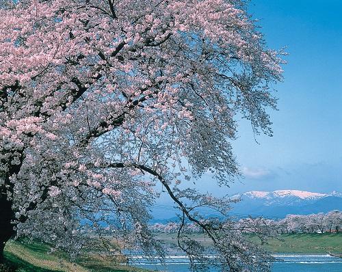 白石川堤一目千本桜のイメージ