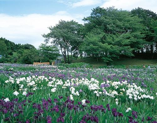多賀城跡あやめ園のイメージ