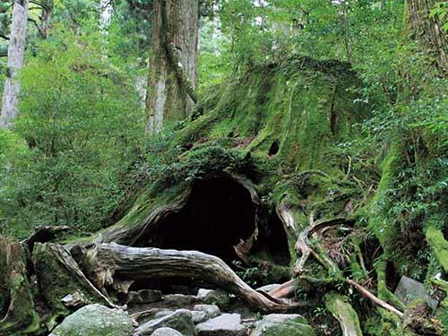 屋久島 縄文杉のイメージ