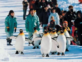 旭山動物園 ペンギン散歩