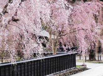 秋田 角館 武家屋敷街のシダレザクラ