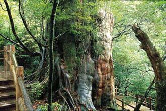 歩かなくてもヤクスギに逢える『紀元杉と屋久島島内観光』