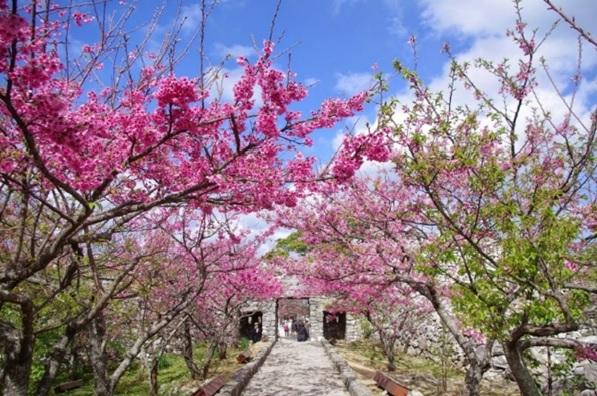 今帰仁城跡の桜のイメージ